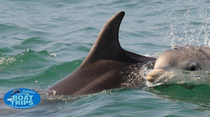 Dolphin Spotting Boat Trips - New Quay